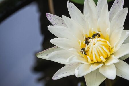 Close up of white lotus with bee
