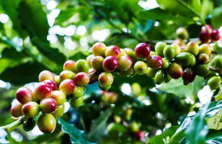 coffee harvest: a yellow coffee bean on coffee tree in garden
