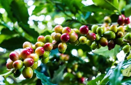arbol de cafe: un grano de caf� amarillo en el �rbol de caf� en el jard�n Foto de archivo