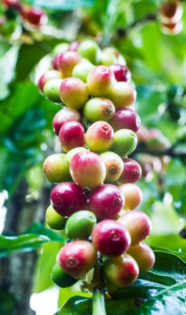 coffee tree: a yellow coffee bean on coffee tree in garden