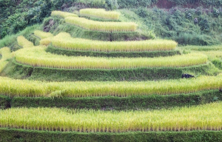 ricefield: gold rice in terace field north thai land Stock Photo