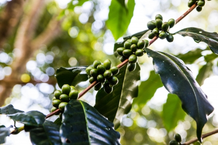 a green coffee on the tree in north thailand photo