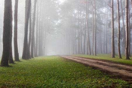 a beautiful pine in maehongson north thailand photo