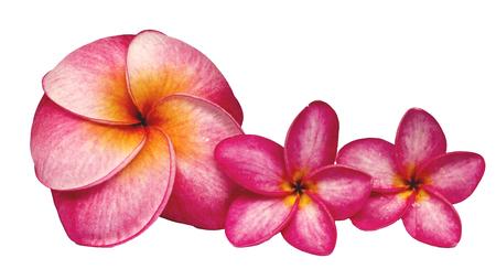 subtropical: frangipani flower , isolated.