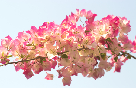 paper textures: Bougainvillea on white background