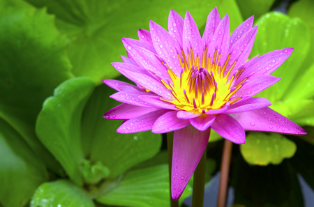 This beautiful  lotus flower is complimented by the rich colors of the deep blue water surface. Saturated colors and vibrant detail make this an almost surreal image. Stock Photo