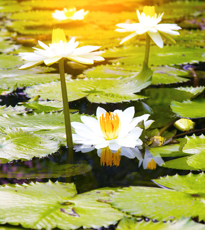 The beautiful white lotus flower or water lily reflection with the water in the pond.