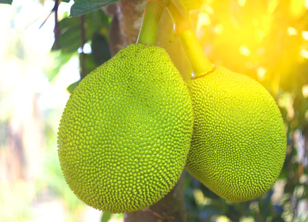 Jackfruit Tree and young Jackfruits on tree and sunrise Stock Photo