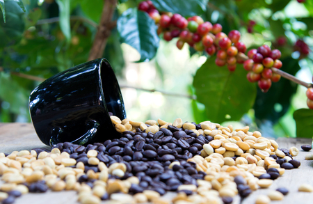 group of ripe and raw coffee berries on coffee tree branch and old wood table, black cup and black coffee beans, selective focus. Stock Photo