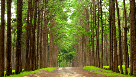 Country road surrounded by colorful pine wood in rainy season.