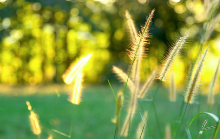 Close up flower grass and sunset background in the everning.