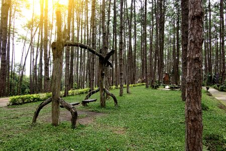 Wooden swings hanging on the tree branches in the pine tree forest.