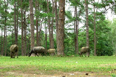 water buffalo on green meadow with pine forest on background. pine forest park. Фото со стока