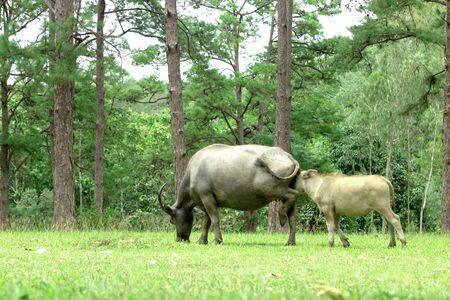 water buffalo on green meadow with pine forest on background. pine forest park. 版權商用圖片