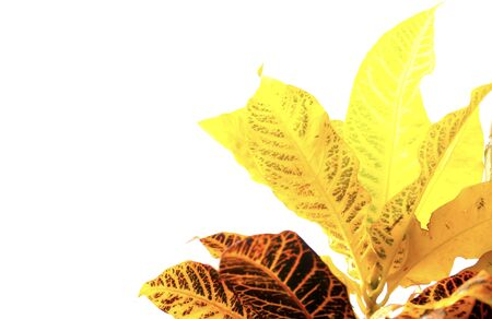 closeup of Garden Croton leaves, or called Koson in Thai as texture and background pattern. Фото со стока