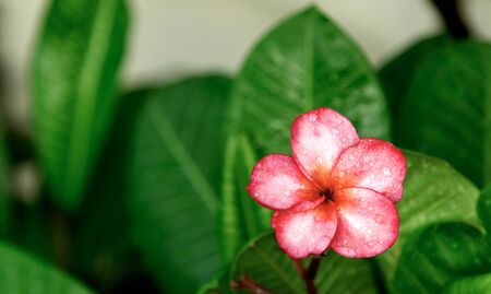Plumeria, water drops from rain, naturally, fresh pink frangipani flower with leaves in garden. Фото со стока