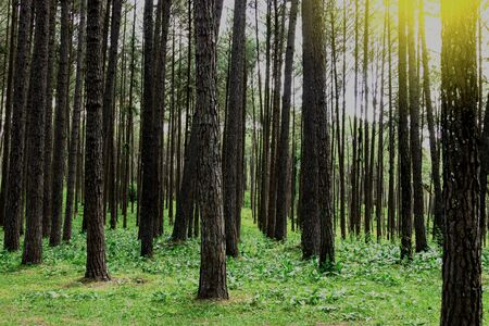 Forest pine trees. Nature green wood in autumn and sunrise.
