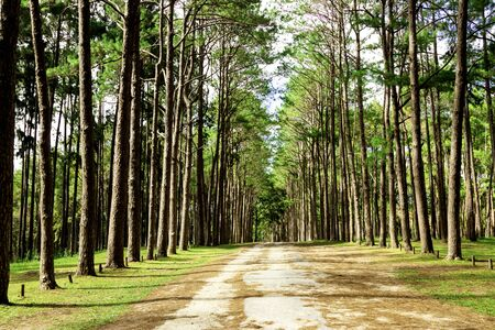 rural road in Forest pine trees. Nature green wood in autumn and sunrise.