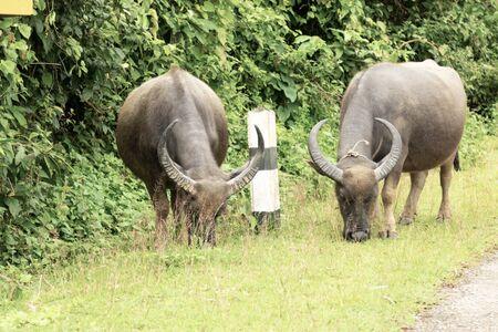 the buffalo on green meadow in forest. Фото со стока