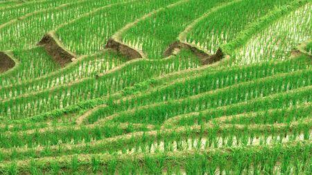 Green Terraced Rice Field in Pa Pong Pieng , Mae Chaem, Chiang Mai, Thailand. Фото со стока