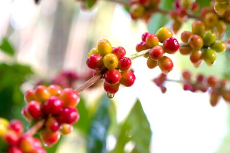 Close up fresh organic red raw and ripe coffee cherry beans on tree plantation.
