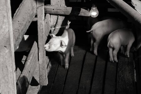 Little pigs at farm waiting for food. Shallow depth of field.