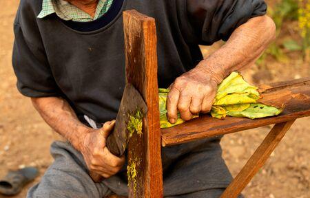 Cutting tobacco into a bowl on garden.