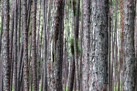 Evergreen pine forest