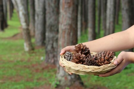 Pine or fur cones in basket on forest floor and hand.