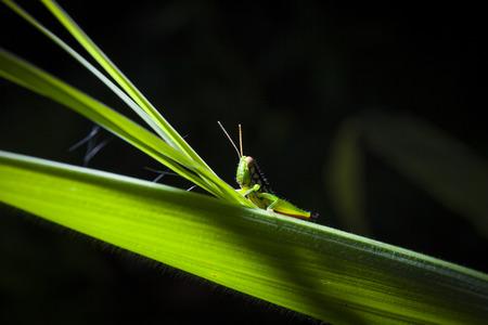 caelifera: Green grasshopper on leaf, macro Stock Photo