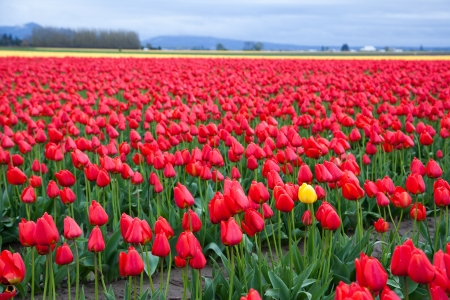 nature photography: One Yellow tulip in red tulip field