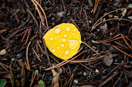 aspen leaf: rain drops over yellow aspen leaf on the ground