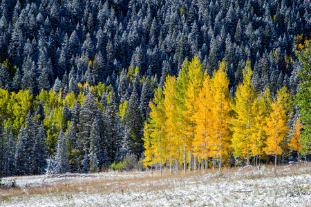 Yellow aspens in Colorado mountain  photo