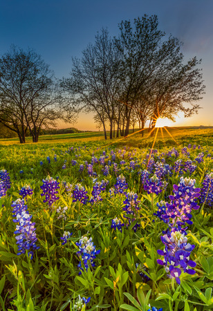 bluebonnet: Bluebonnet or Lupine wildflowers filed at sunset in Ennis Texas