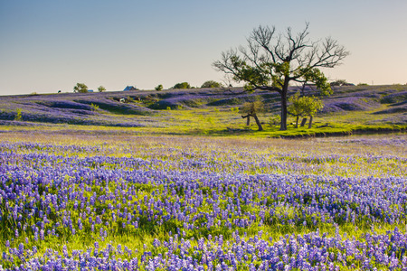 Bluebonnet or Lupine wildflowers filed in Ennis Texas Stock Photo - 30548347