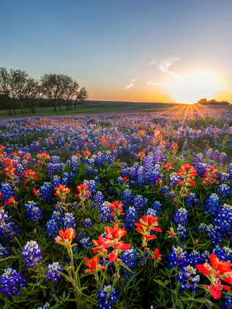 Bluebonnet and Indian paintbrush wildflowers filed in Ennis, Texas Archivio Fotografico