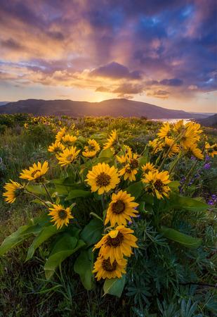 beautiful sunrise and wildflowers in Columbia river gorge, Oregon Archivio Fotografico