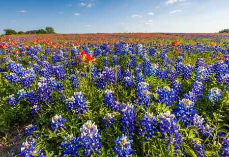 Texas wildflower -  bluebonnet and indian paintbrush filed in Ennis Archivio Fotografico