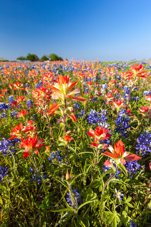 bluebonnet: Texas wildflower -  bluebonnet and indian paintbrush filed in Ennis Stock Photo