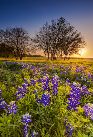 bluebonnet: Texas wildflower -  bluebonnet or lupine filed at sunset Stock Photo