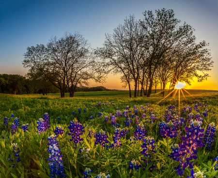 Texas bluebonnet filed at sunset in Spring
