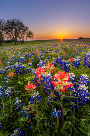 Texas wildflower -  bluebonnet and indian paintbrush field at sunset in Spring