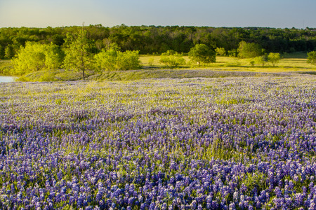 bluebonnet: Texas wildflower -  bluebonnet field in Ennis