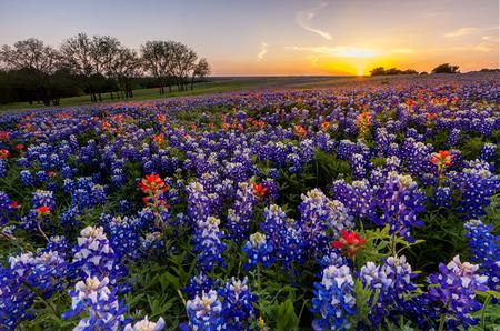 fleurs des champs: Texas fleurs sauvages - pinceau bluebonnet et indienne déposée en coucher de soleil.
