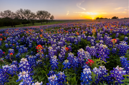Texas wildflower -  bluebonnet and indian paintbrush filed in sunset. 免版税图像 - 37330983