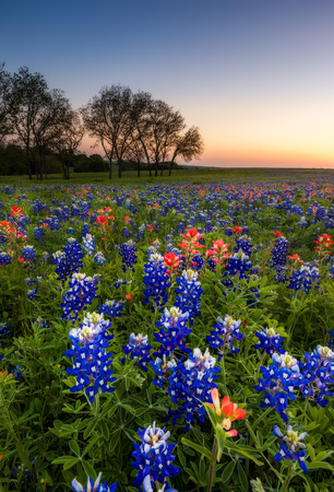 bluebonnet: Texas wildflower -  bluebonnet and indian paintbrush field at sunset in Spring