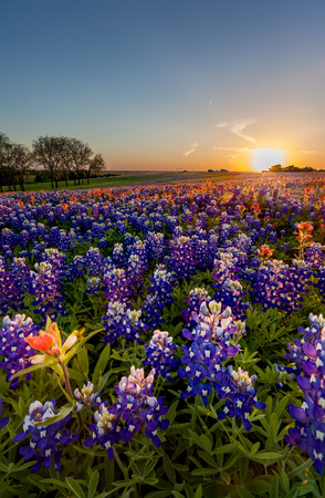Texas wildflower -  bluebonnet and indian paintbrush field in sunset in sunset.