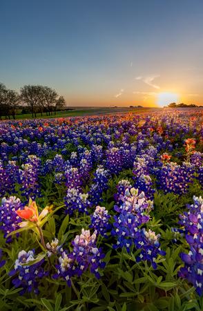 campo de flores: Wildflower de Tejas - campo pincel bluebonnet e india en la puesta del sol en la puesta del sol.