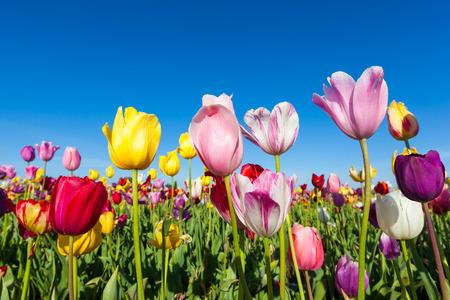 campo de flores: close up coloridos tulipanes en el jard�n del tulip�n.