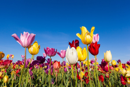 close up colorful tulips in tulip field. Stock Photo - 39661348